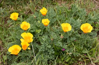 the state poppies
