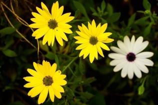 yellow & while gerbera blooms