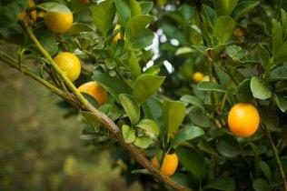 tart kumquat
