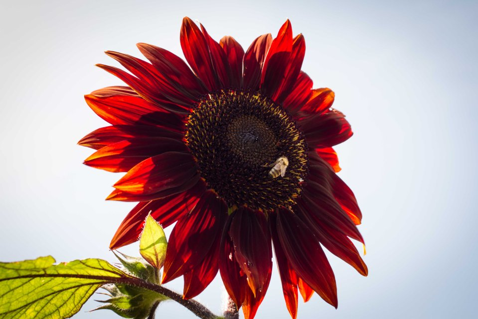 sunflower bees 2