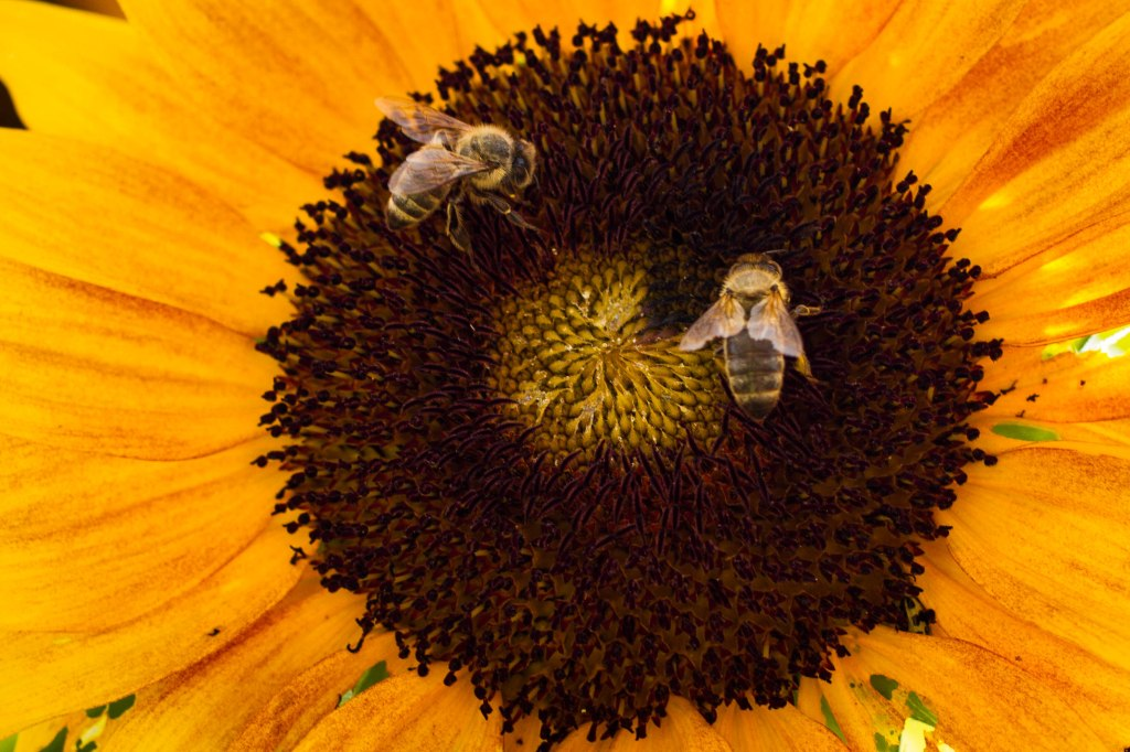 sunflower bees 3
