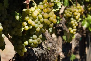 white wine to be