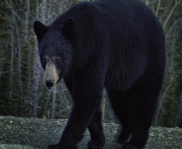 bear-stare