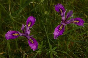wild iris are here for you
