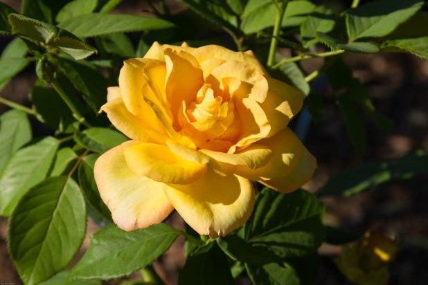 yellow, rose?