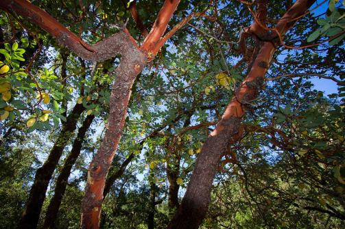 madrone 2