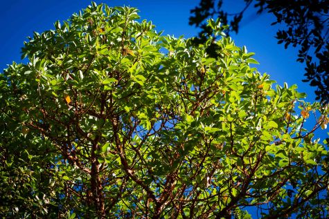 madrone 4