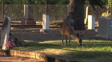 karma-fed deer