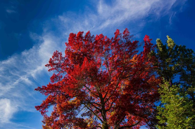 Red Oak & Green Pine dance with clouded blue sky