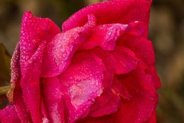 big rose, before