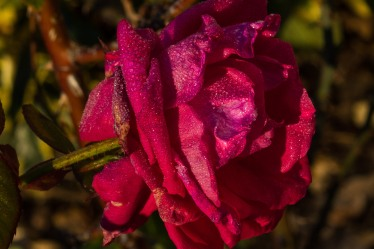 other big rose after