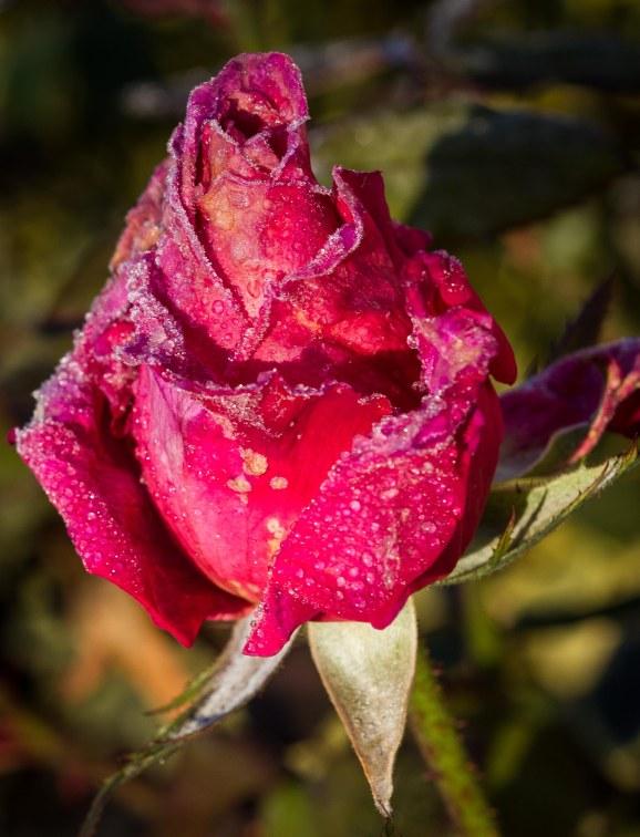 little rose after