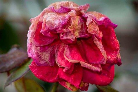 big rose after