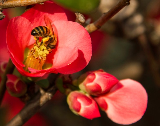 early bloom pollinator