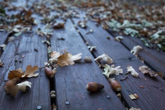 fall oak acorn