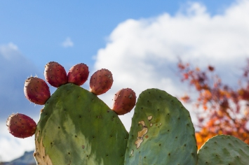 prickly pear autumn