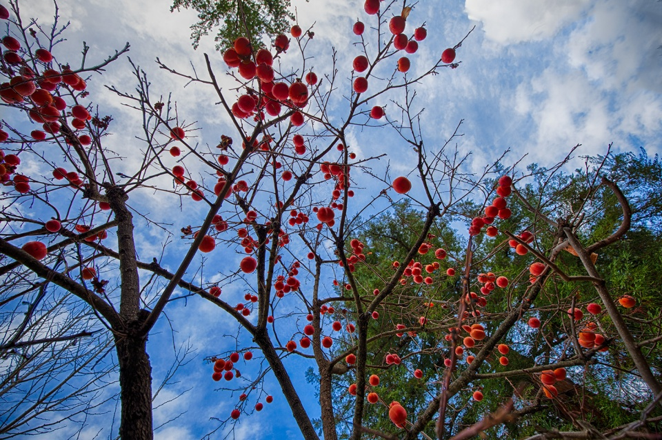 persimmon tree sky ~d nelson