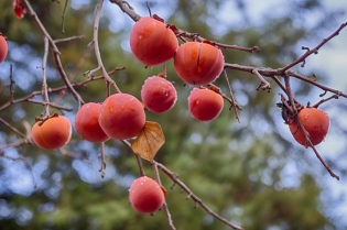 present persimmons for you