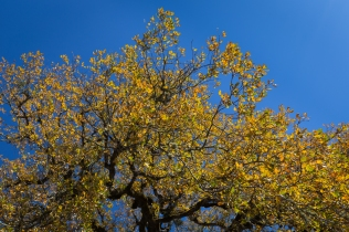 blue sky, yellow oak