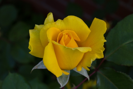 pretty rose 7