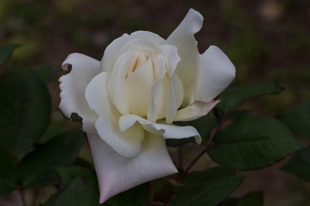 pretty rose 6