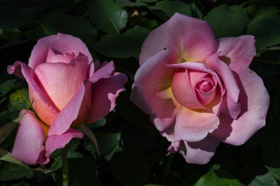 pretty rose 10