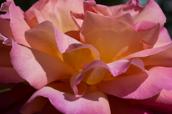 pretty rose 8
