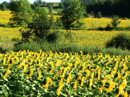 sunflowers in plum village