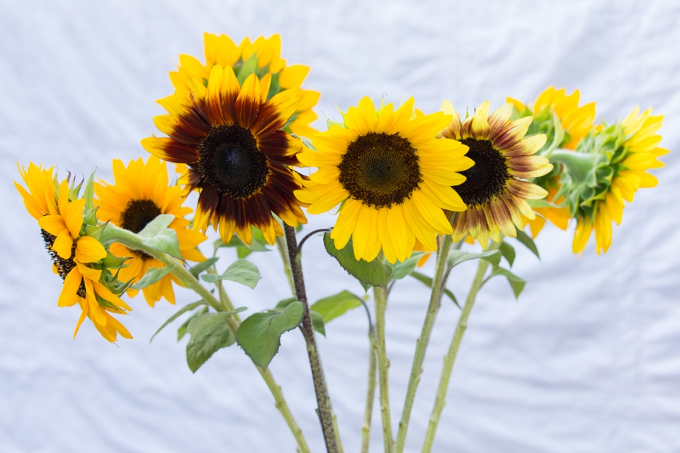 sunflowers-1