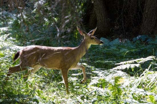 alps deer