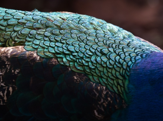 peacock-1