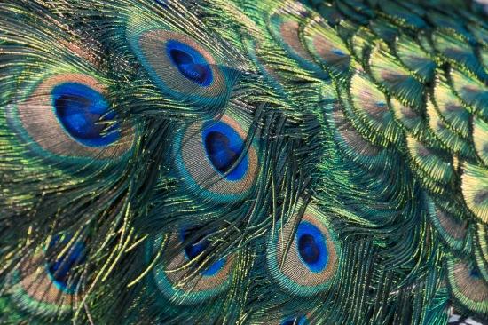 peacock-6