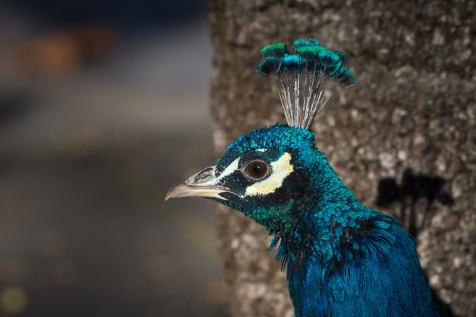 peacock-7