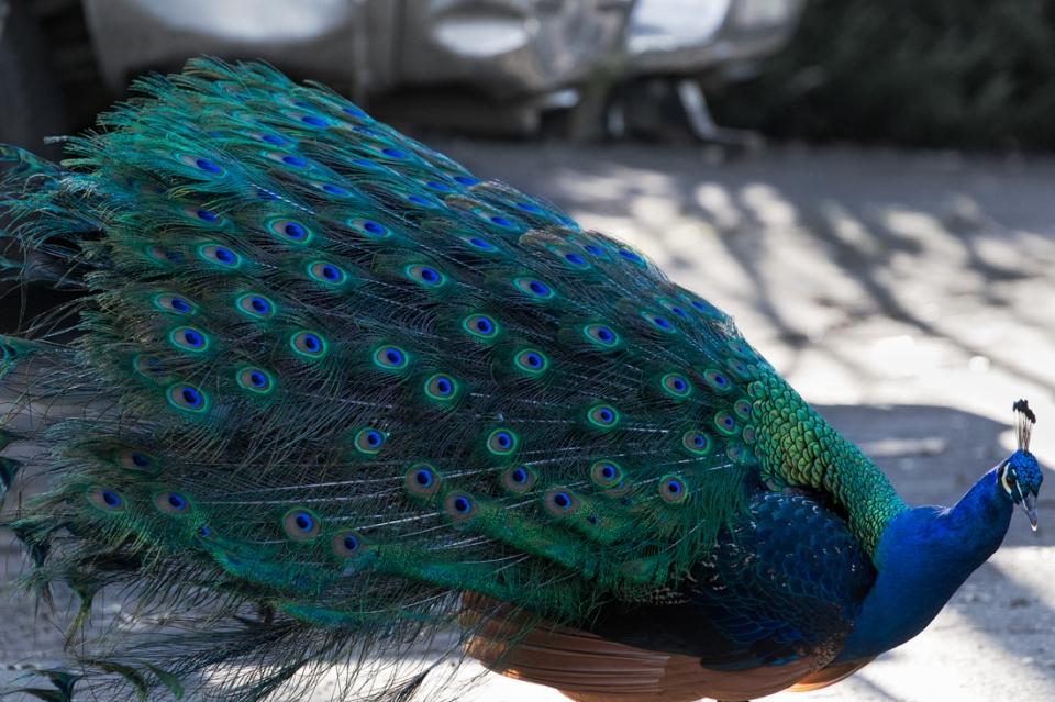 Particular Peacock ~d nelson