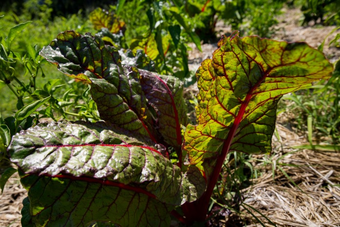 swiss chard in america