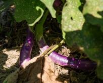 Ichiban eggplants, yum