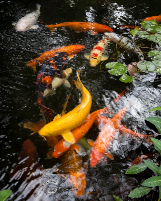 many koi pond