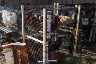 gimme shelter: chickens getting along