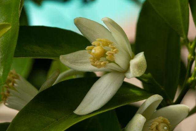orange blossom special 5