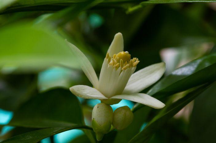 orange blossom special 4