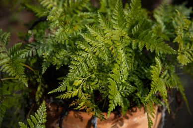 ferns like clouds (click to enlarge)