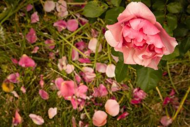 Petals fall close to the rose 2